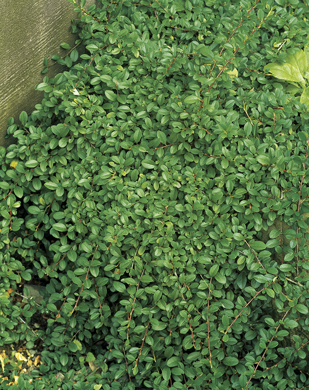 Image  - Cotoneaster Radicans 'Eichholz'