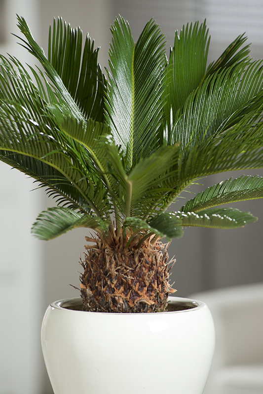 Miniature  - Cycas du Japon