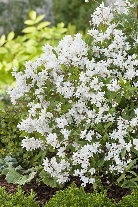 Miniature  - Deutzia Gracilis 'Nikko'
