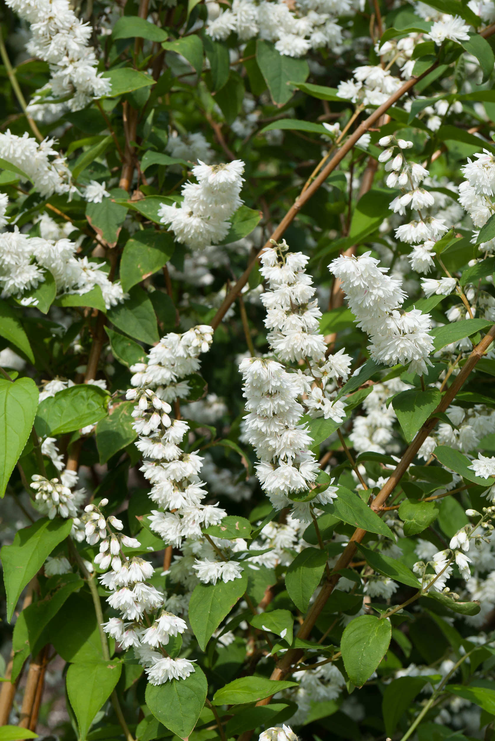 Miniature  - Deutzia Scabra 'Plena'