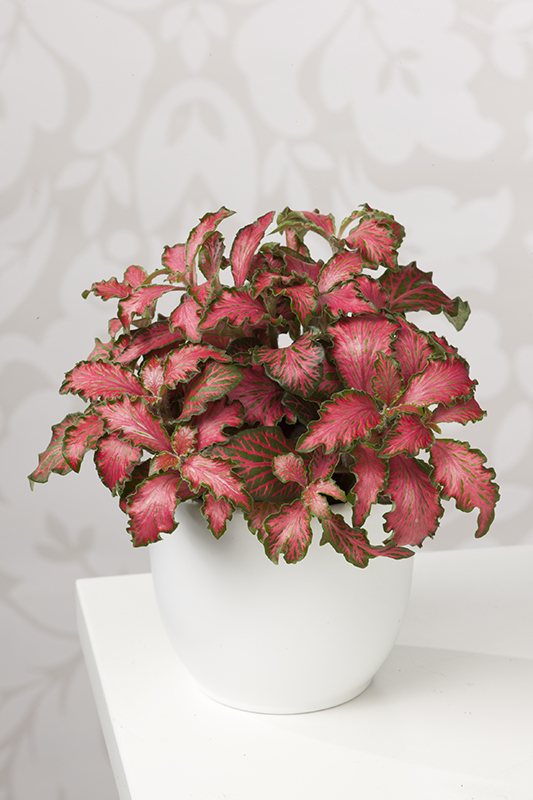 Miniature  - Fittonia