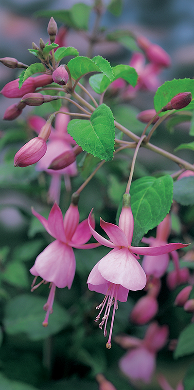 Image  - Fuchsia 'Beacon Rosa'