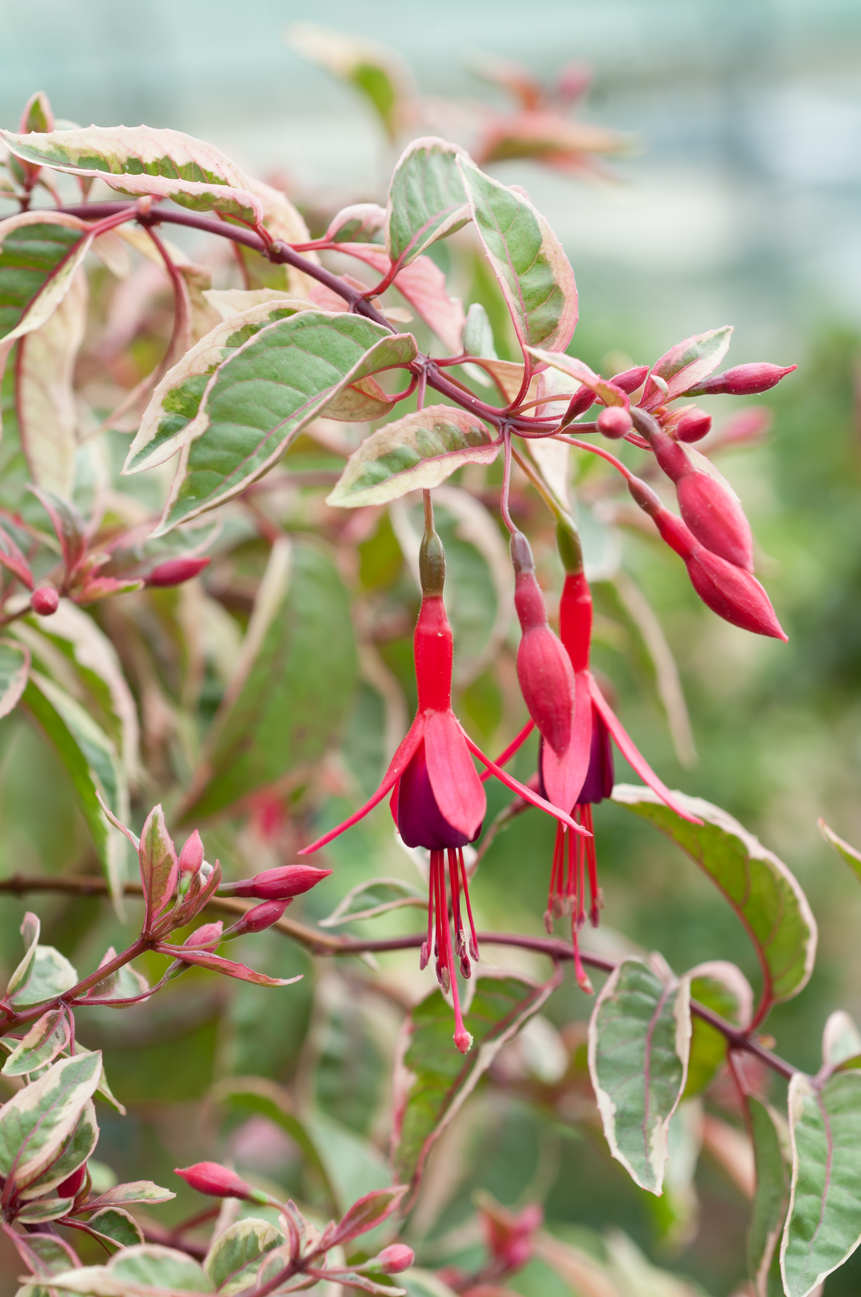 Image  - Fuchsia 'Tom West'