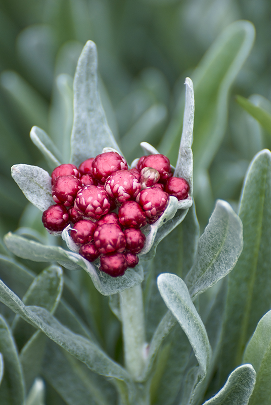 Image  - Immortelle 'Ruby Cluster'