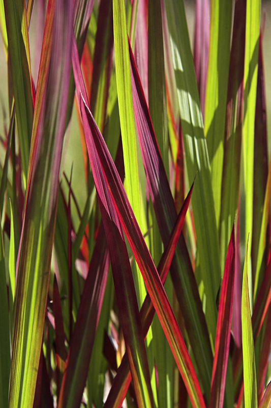 Image  - Imperata 'Red Baron'