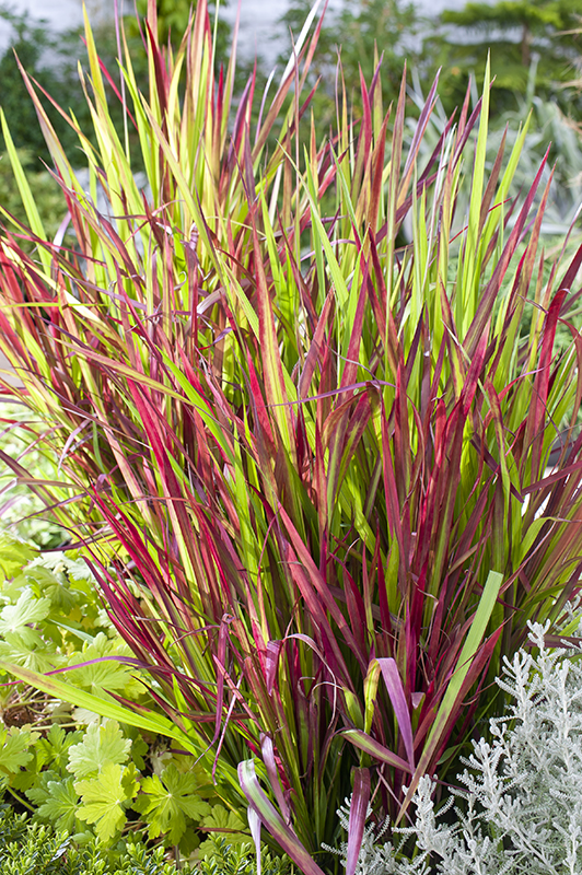 Miniature  - Imperata 'Red Baron'