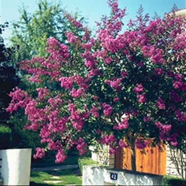 Image  - Lilas Des Indes Terre Chinoise®