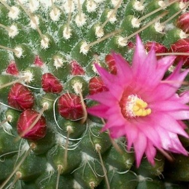 Image  - Mamillaire, Cactus coussin