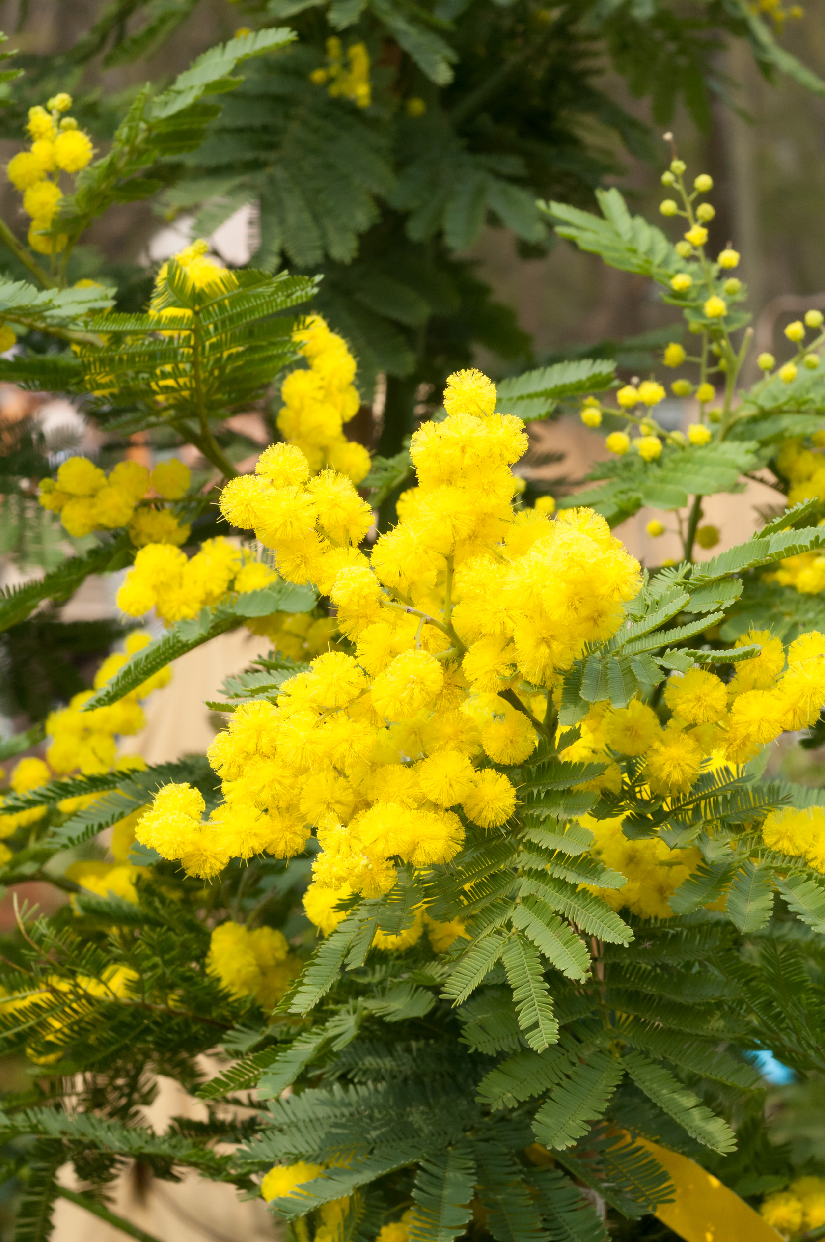 Image  - Mimosa D'Hiver