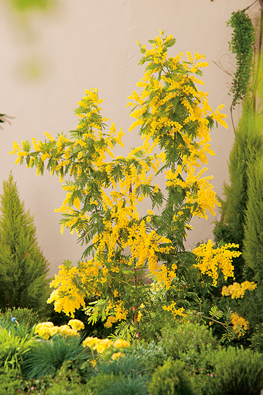 Image  - Mimosa D'Hiver 'Gaulois Astier'