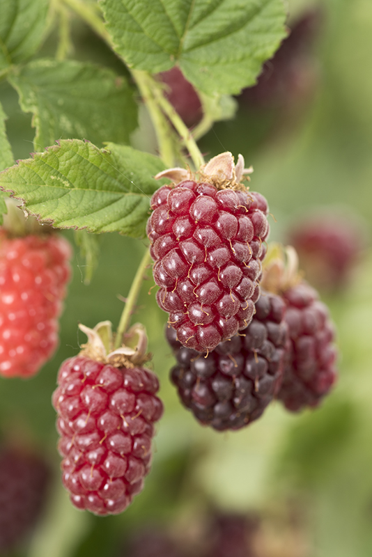 Image  - Mûre Framboise 'Tayberry'