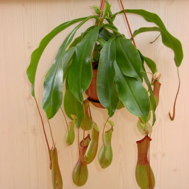 Image  - Nepenthes