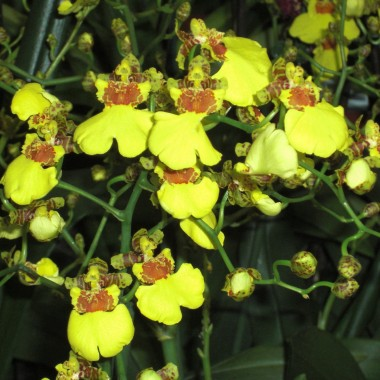 Miniature  - Oncidium