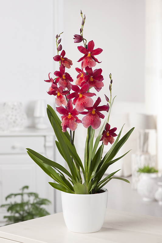 Image  - Orchidée Cambria 'Nelly Isler'