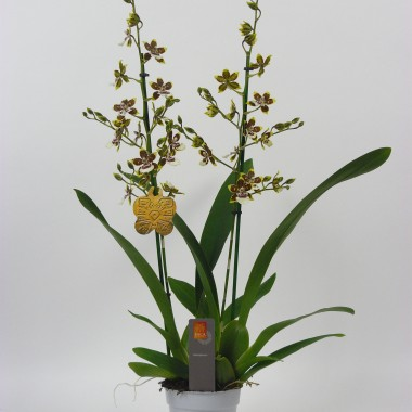 Image  - Orchidée Cambria 'Tropic Jungle'