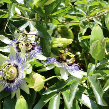 Image  - Passiflore bleue 'Clear Sky'