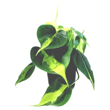 Image  - Philodendron 'Brasil'