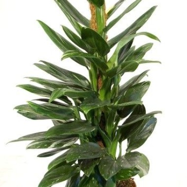 Image  - Philodendron 'Cobra'