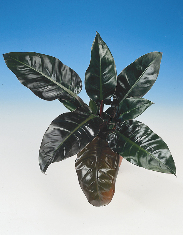 Image  - Philodendron 'Imperial Red'