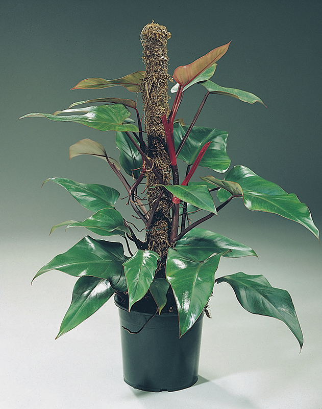 Image  - Philodendron 'Red Emerald'
