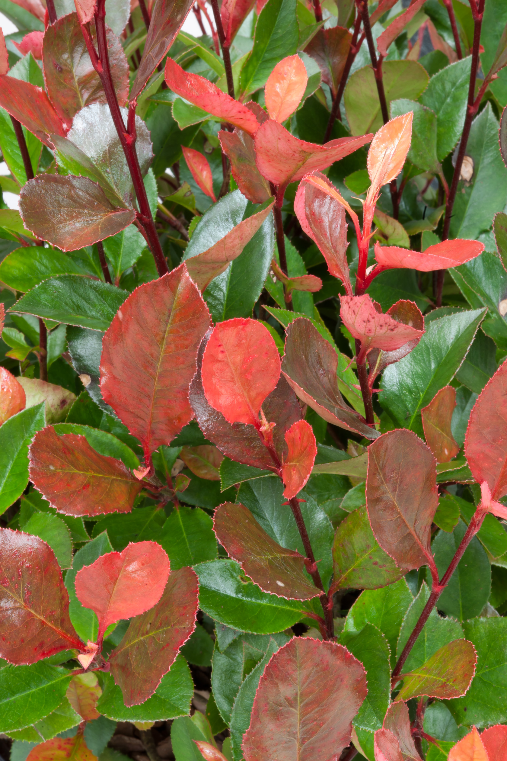 Image  - Photinia 'Little Red Robin'