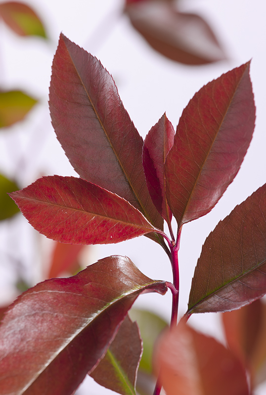 Image  - Photinia 'Red Robin'