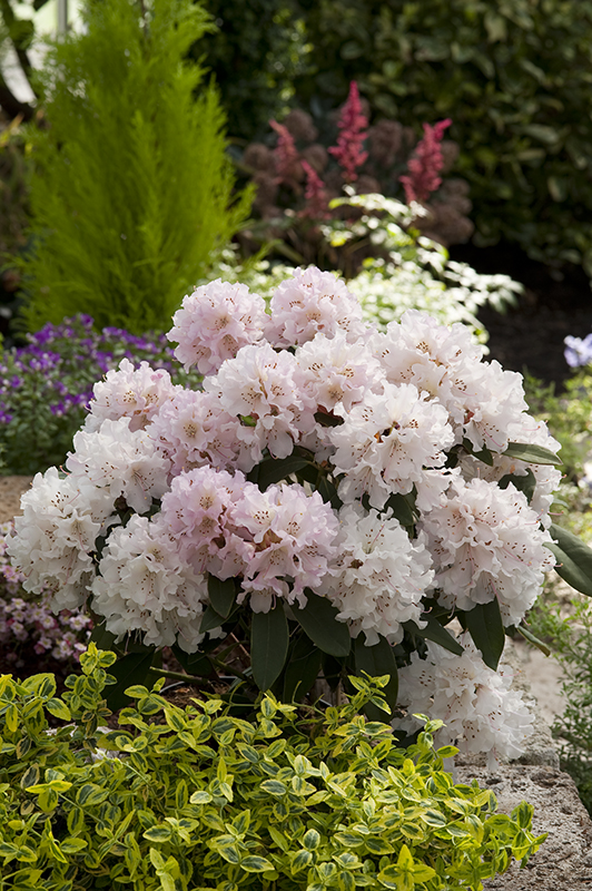 Image  - Rhododendron 'Christmas Cheer' blanc