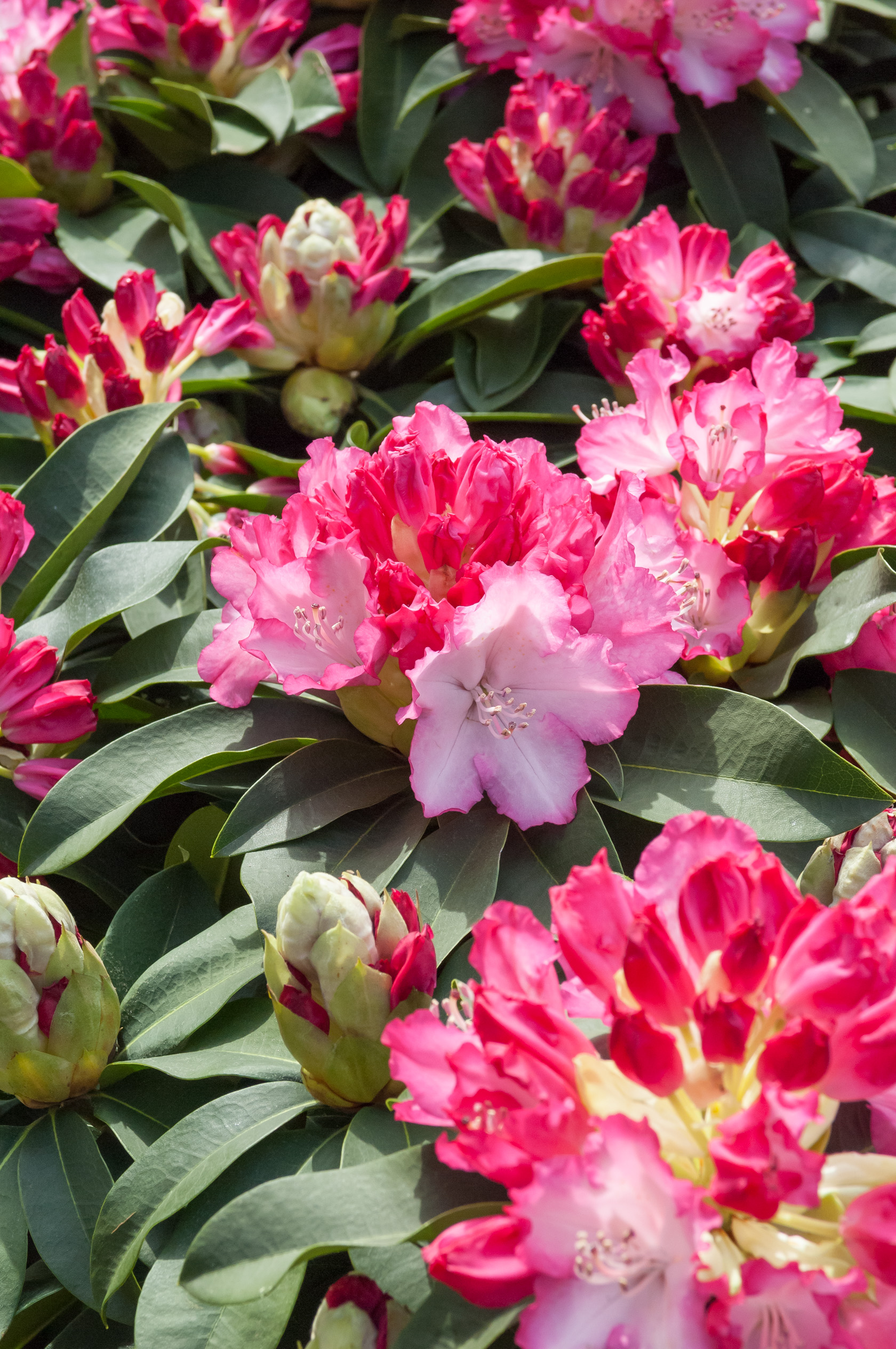Image  - Rhododendron XXl®