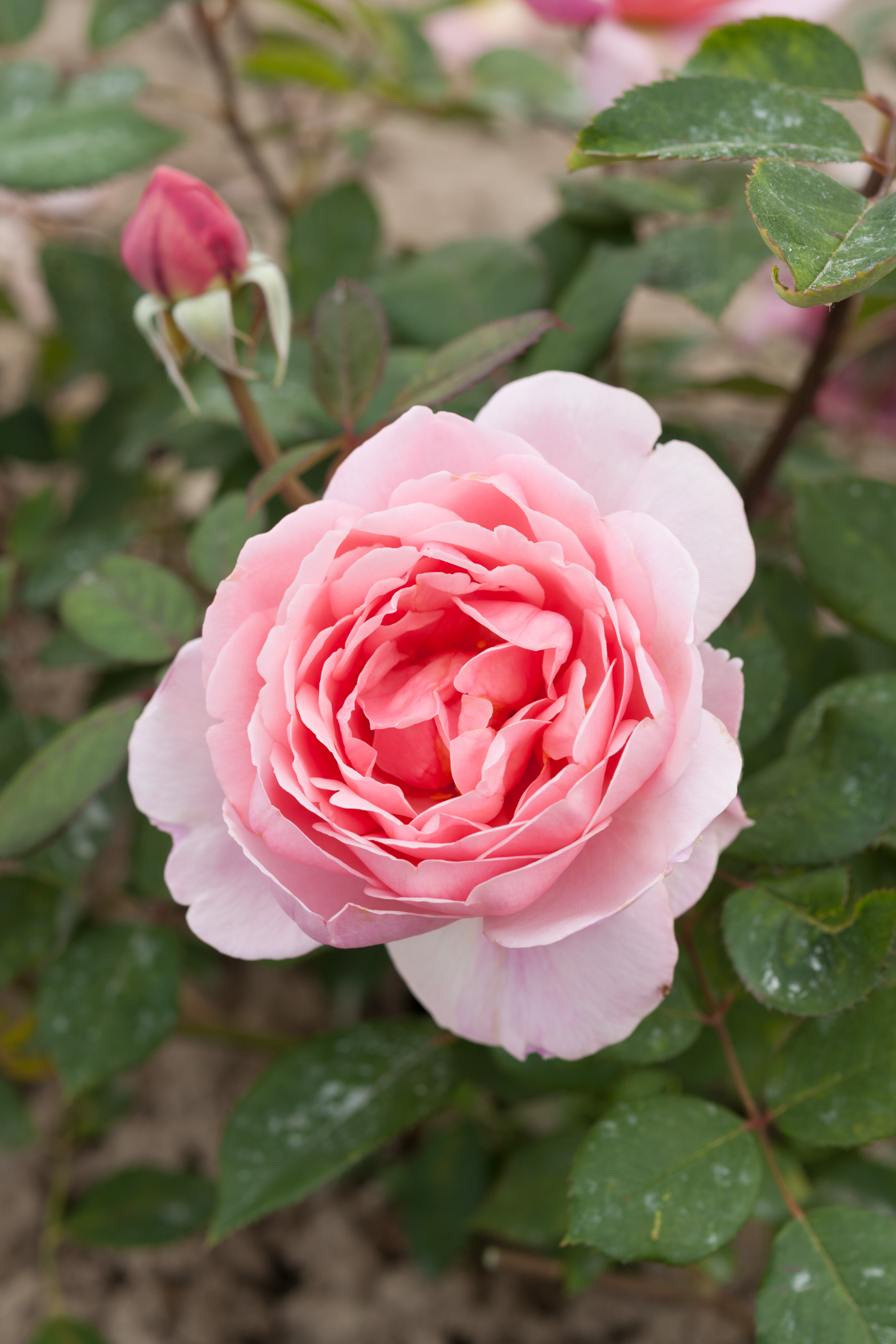 Image  - Rosier Brother Cadfael®