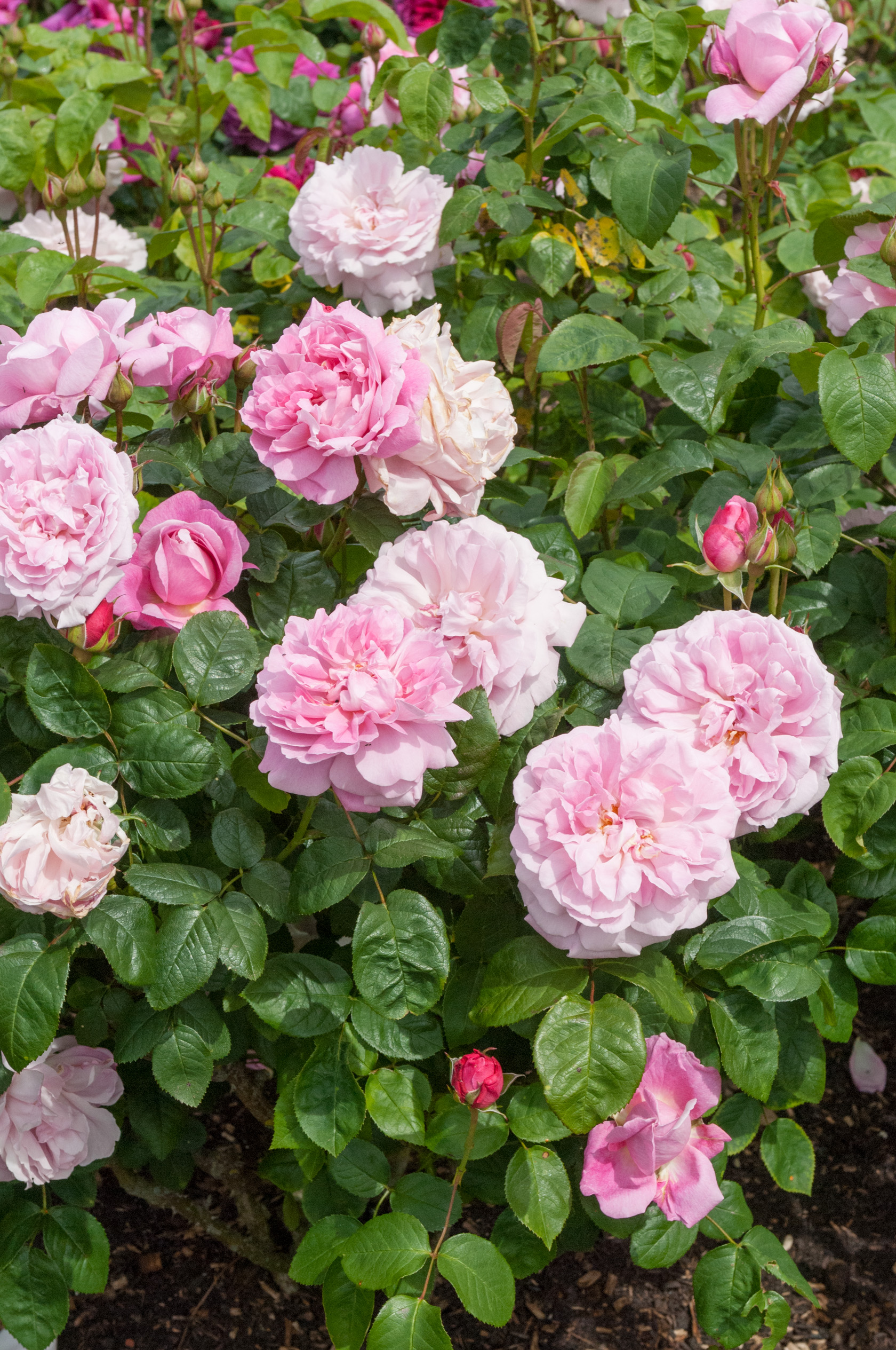 Miniature  - Rosier Mary Rose®