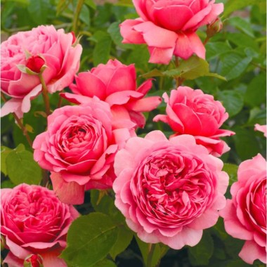 Image  - Rosier 'Princess Alexandra of Kent'