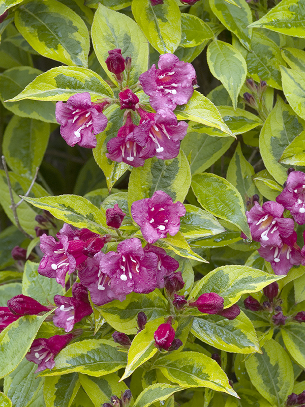 Miniature  - Weigelia 'Brigela'