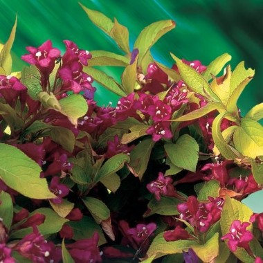 Miniature  - Weigelia 'Jean's Gold'